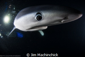 Blue sharks are just as curious about you as you are abou... by Jim Machinchick
